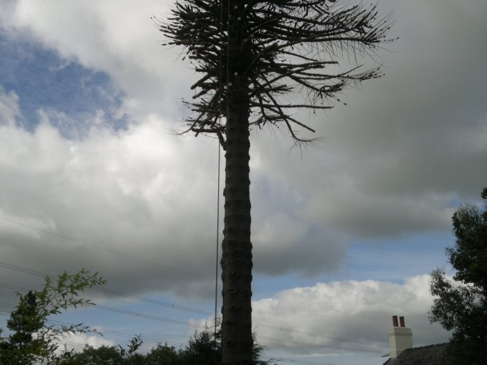 Dead Monkey Puzzle tree. Llanfairpwll. Starting to take off branches. The leaves are like armoured scales with sharp points