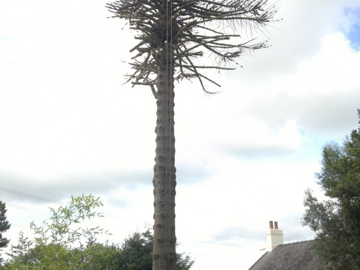 Taking down Dead Monkey Puzzle tree. Llanfairpwll, Anglesey