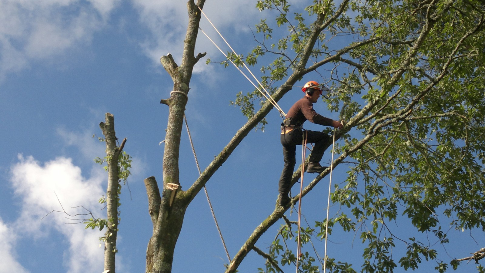 Taking down Turkey Oak, Bodorgan Estate