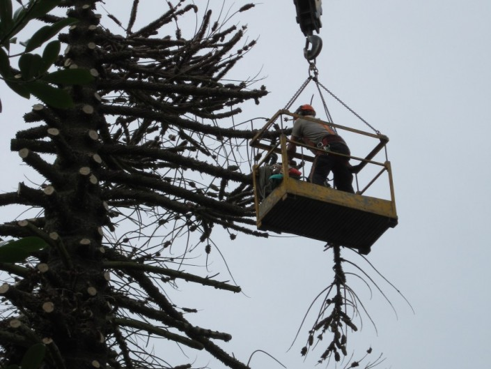 Felling monkey puzzle tree