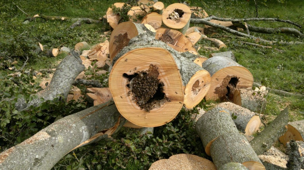 felling dangerous tree and saving wild bee colony snowdonia tree services. Black Bedroom Furniture Sets. Home Design Ideas