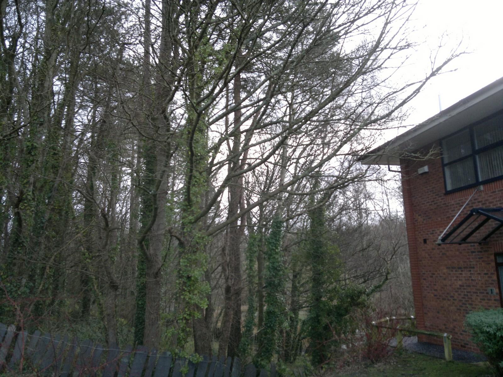 Branches overhanging property, Bangor, Gwynedd.
